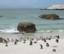 Penguins Migrating Sunnier Climate